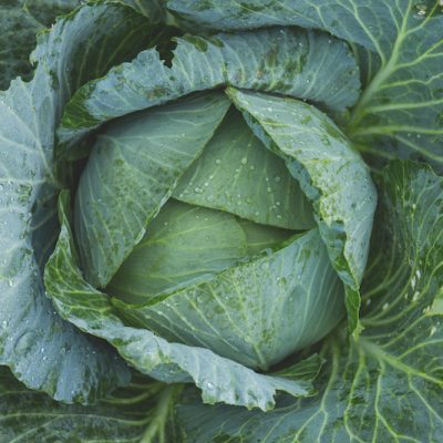 Green cabbage fermented probiotics